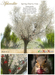 Aphrodite Spring Cherry tree- White color- Loving squirrels cutest scene ever!