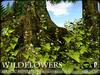 Flowers - Wild Flowers - Garlic Mustard