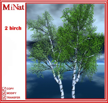 MN Birch two tree