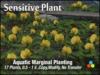 Pond Plants - Sensitive Plant 100% Mesh