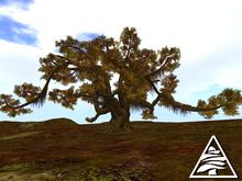 Ancient Virginia Live Oak AUTUMN C/M