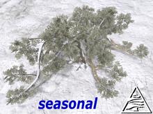 Ancient Virginia Live Oak SEASON M/T