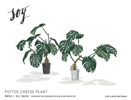 Soy. Potted Cheese Plant [addme]