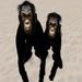 Realistic Chimpanzee Avatar (a Ripped Winkler monkey)