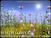 Wildflowers  campion   promo a1
