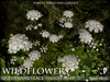 Wildflowers queen anne%e2%80%99s lace  promo a3