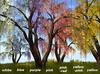 Golden Shower Tree 7xcolors C/M