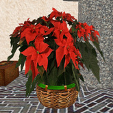 Large red Poinsettia, Christmas Star, planted in a fine basket