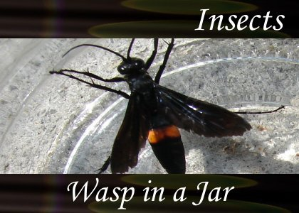 Atmo-Insects - Wasp in a Jar 0:30