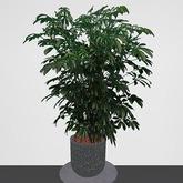 Schefflera Potted Plant