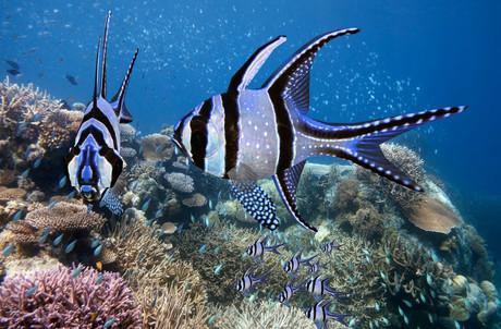 fish cardenal de banggai