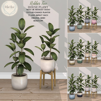 {what next} Rubber Tree House Plant