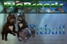 BioBreeds (BB) Dog MALE Pitbull STARTER (Boxed)