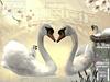 Swan, family