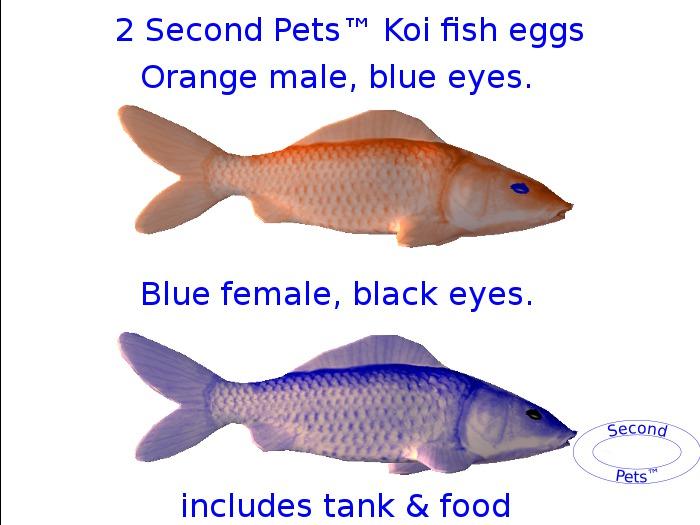 Two Koi eggs package Orange & Blue