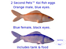 Two Koi eggs package Orange & Blue