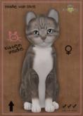 KittyCatS Box - American Shorthair Blue & White Tabby