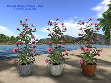 Potted Hibiscus Plant - Pink