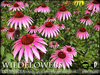 Heart - Wild Flowers - Echinacea