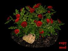 Red Rose Bush on Soil and Rocks_CM
