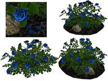 Blue Rose Bush on Soil and Rocks_FP