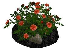 Apricot Rose Bush on Soil and Rocks_FP