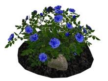 Blue 2 Rose Bush on Soil and Rocks_FP