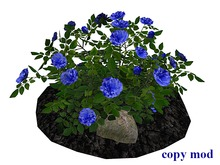 Blue 2 Rose Bush on Soil and Rocks_CM