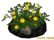 Yellow Rose Bush on Soil and Rocks_CM