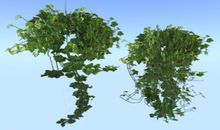 Hanging Two Tropical Foliage Ivy Plants