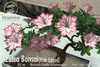 [ Organica ] Azalea Bonsai 1 (Pink Edged)