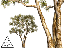 Eucalyptus (Australia)7 LI M/T