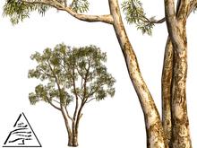 Eucalyptus (Australia)7 LI C/M