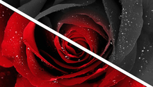 PICTURE ROSE