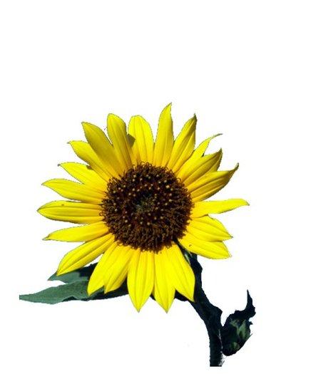 Second Life Marketplace Full Perms Flower Plant Sunflower Dark Short Stem Texture Original High Quality Tga F