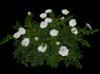 Rose bush white main