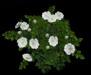 Rose bush whitemain2