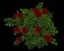Rose bush redmain