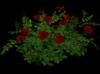Rose bush red main 2
