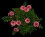 Rose bush pinkmain2