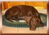 BB Biobreeds Grand Great Dane unbirthed for your Ranch or Home