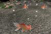 Cj cascading pond   the koi 10