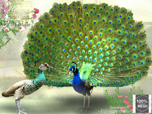 Peacock, couple