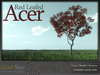 Skye Red Leafed Acer Tree
