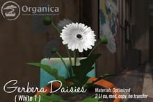 [ Organica ] Gerbera Daisies (White 1)