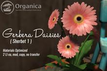 [ Organica ] Gerbera Daisies (Sherbet 1)