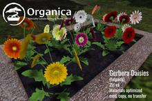 [ Organica ] Gerbera Daisies (Fatpack)