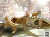 Tlc eurasian lynx