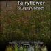 Fairyflower grasses