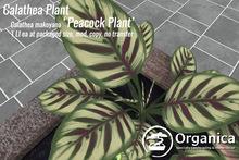[ Organica ] Calathea Plant (Peacock Plant)